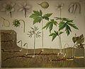 Schmeils Botanische Wandtafeln 01.jpg