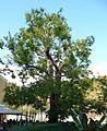 Schnurbaum Paulusbogen.JPG