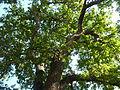 Schotia brachypetala, habitus, Voortrekkerbad.jpg