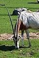 Scimitar-horned Oryx (33719910638).jpg