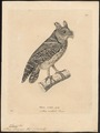 Scops lempiji - 1700-1880 - Print - Iconographia Zoologica - Special Collections University of Amsterdam - UBA01 IZ18400129.tif