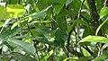 Screaming Piha (Lipaugus vociferans), often heard, rarely seen, an iconic sound of south-american rainforest ... (39993697411).jpg