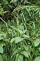 Scrophularia auriculata kz2.jpg