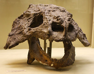 Scutosaurus - Skull of S. karpinski