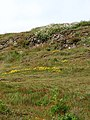 Sea campion and Bird-foot's Trefoil - geograph.org.uk - 826573.jpg