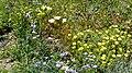 Seacliff flora (32216868082).jpg