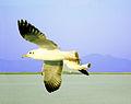 Seagull at sea.JPG
