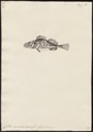 Sebastes variabilis - 1700-1880 - Print - Iconographia Zoologica - Special Collections University of Amsterdam - UBA01 IZ13300011.tif