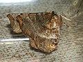 Selenia dentaria - Early thorn - Лунчатая пяденица зубчатая (40227166774).jpg