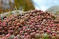 Sempervivum arachnoideum seitlich.jpg