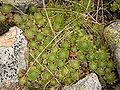 Sempervivum montanum subsp. stiriacum01.jpg