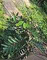 Senna siamea leaves and flowers 01.jpg