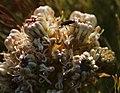 Serruria glomerata Rebelo 3.jpg