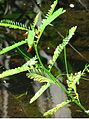 Sesbania stems and leaves.jpg