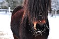 Shaggy pony in winter.jpg