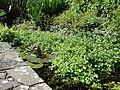 Shanklin Chine pond.JPG