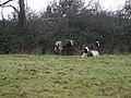 Sheep near Bossington - geograph.org.uk - 1706897.jpg