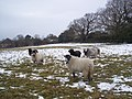 Sheep with bells on - geograph.org.uk - 1709748.jpg