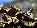 Shelf Fungi (Takoma Woods, MD) (5262548330).jpg