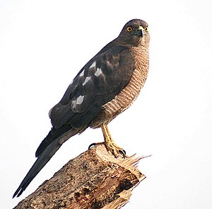 Shikra - Female (Hodal, India)