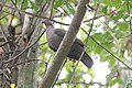 Short-billed Pigeon (Patagioenas nigrirostris) (7222830044).jpg
