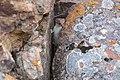 Short-tailed weasel exploring a crack between two rocks (29851792527).jpg