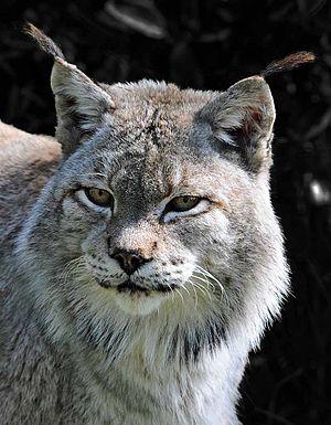 Siberian lynx - A Siberian lynx at Dartmoor Zoological Park, England.