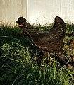 Siberian fowl-Сибирская Мохноножка Королев Александр.jpg