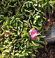 Sierra primrose flower Kearsarge Pass.jpg