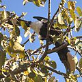 Silvery-cheeked Hornbill (2206511009).jpg