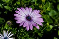 Single Purple African Daisy Macro PLT-FL-DS-AD-9.jpg