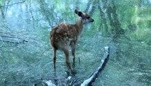 Juvenile sitatunga in Salzburg Zoo, Austria