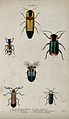 Six winged insects. Coloured engraving by W. H. Lizars. Wellcome V0020755ER.jpg
