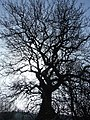 Skeleton tree - geograph.org.uk - 689582.jpg