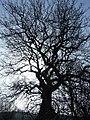 Skeleton tree - geograph.org.uk - 689582.jpg