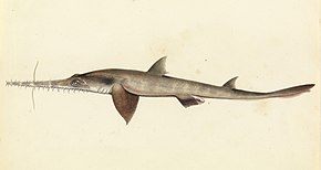Description de l'image Sketchbook of fishes - 25. (Longnose) Saw shark - William Buelow Gould, c1832.jpg.