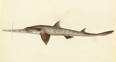 Sketchbook of fishes - 25. (Longnose) Saw shark - William Buelow Gould, c1832.jpg