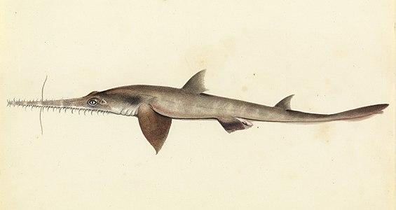 Squalo sega da Sketchbook of fishes