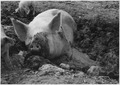 Slaughter of the pigs for the hog reduction program - NARA - 195525.tif