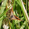 Small Copper. Lycaena phlaeas (27851307519).jpg