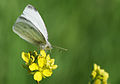 Small White butterfly - Pieris rapae.jpg