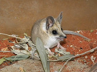 Fat-tailed dunnart - Sminthopsis crassicaudata