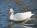 Snow goose in Central Park (33007).jpg