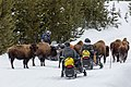 Snowmobilers waiting to get around bison (62ee707f-cebe-49d2-a33d-0de0152ab41f).jpg