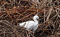 Snowy Egret (13950588439).jpg