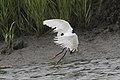 Snowy egret (6203369433).jpg