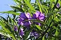 Solanum aviculare pm.jpg