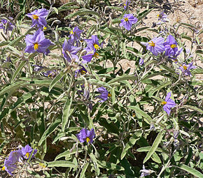 Description de l'image Solanum elaeagnifolium 3.jpg.