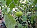 Solanum incanum (DITSL).JPG