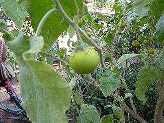 Solanum incanum - Image: Solanum incanum (DITSL)